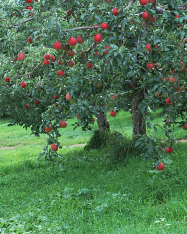 fruite-tree